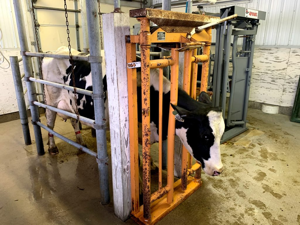 Sunrise Veterinary Services - Reedsburg, WI. | cattle processing